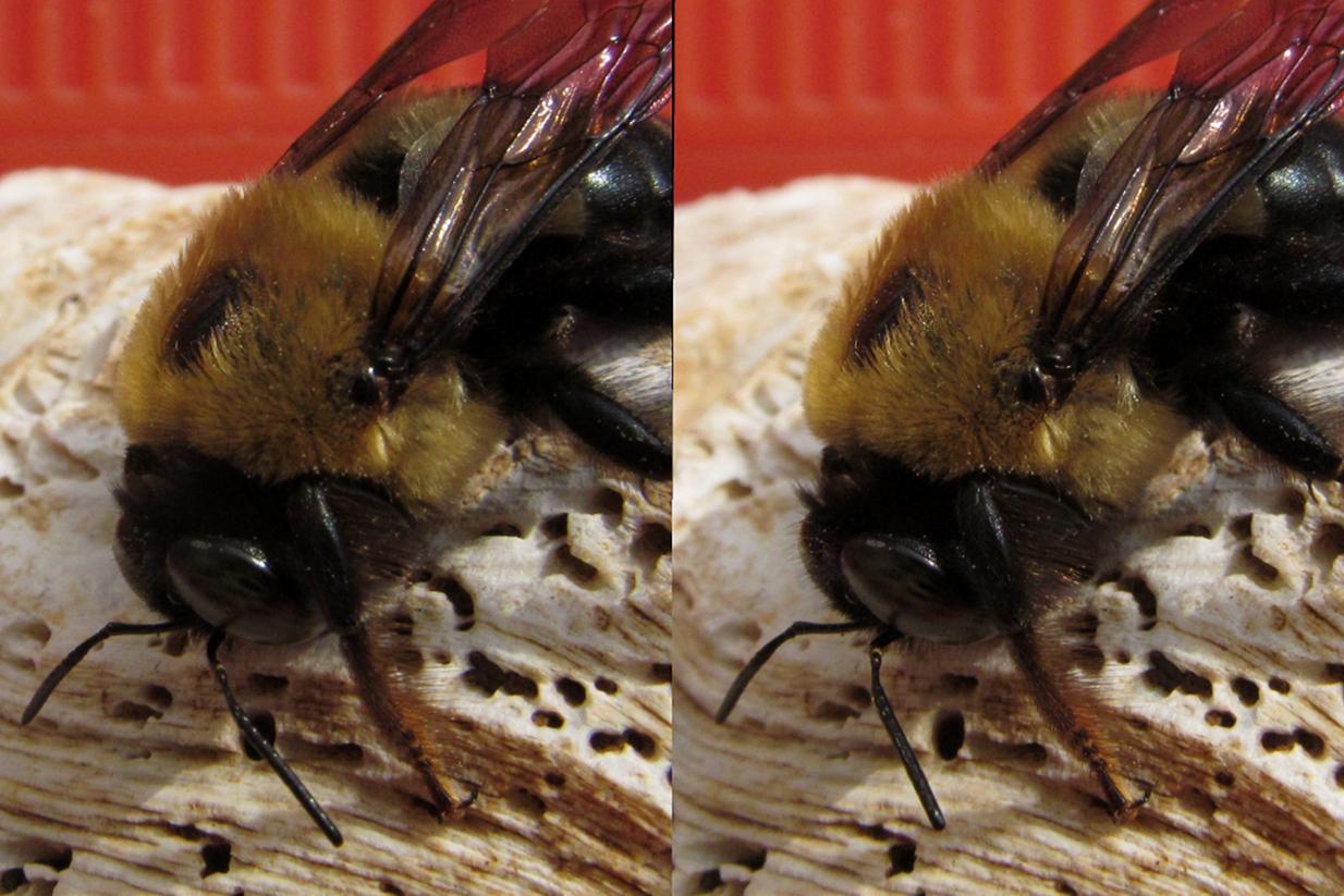 3-D_Bumble-Bee_ADJ_CR-3_1246-1247.JPG